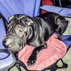 Lost Dog - Shar Pei - Medina, OH, United States 44256