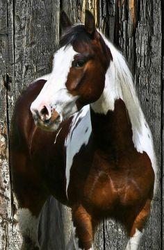 Striking Liver-Chestnut Paint Mustang.