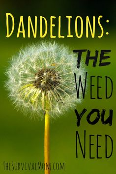 The dandelion is usually thought of as a pesky and annoying, yet remarkably resilient, weed. It is the arch nemesis of the landscape artist and gardener Organic Gardening, Gardening Tips, Indoor Gardening, Dandelion Benefits, Dandelion Weed, Types Of Herbs, Wild Edibles, Edible Plants, Healing Herbs