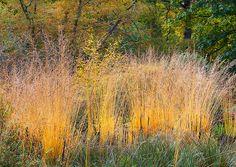 Risultati immagini per molinia in the garden fall season Planting Grass, Prairie Planting, Garden Spaces, Garden Plants, Savill Garden, Landscape Design, Garden Design, Private Garden, Ornamental Grasses