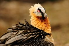 """Lammergeier (also called Bearded Vulture) - photo by Chris Schenk, via birdpictures;  Formerly called ossifrage (""""bone breaker""""), this is a bird of prey that lives on crags in high mountains in southern Europe, Africa, parts of India, and Tibet. It is mostly a scavenger, and often drops bones from great heights to break them, and then eats the bone marrow. (They have even dropped tortoises to break their shells!) Unlike other vultures, it is not bald.  - info from Wikipedia"""