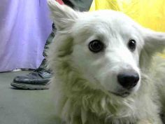 DANA - ID#A616073 (earliest available date is 2/16 - any investigation could delay date) **RESCUE ONLY**  I am a female, white American Eskimo.  The shelter staff think I am about 1 year old.... See More — with Vivian Goldbloom, Peggy Premas, Barbara Greschner and Karen S. Hight at Devore Shelter at 19777 Shelter Way, Devore, CA 92407 in San Bernardino County, CA 92407: (909) 386-9820, ext 0.