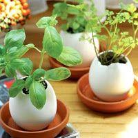 Use eggshells to start seedlings