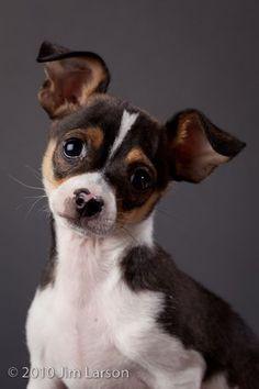 chiuaua rat terrier mix