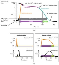 Action potential of cardiac muscle and skeletal muscle compared
