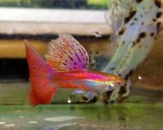 Most amazing Albino Cherry Pink Grass male guppy. Read article to learn about other exotic show strains of guppies. Betta Aquarium, Tropical Fish Aquarium, Freshwater Aquarium Fish, Betta Fish, Fish Fish, Guppy, Pink Grass, Fresh Water Tank, Angel Fish
