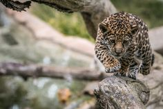 #Jaguar cub Pic by Bob Worthington