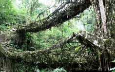 Living Root Bridges in India, aka: the most amazing thing you'll see all day