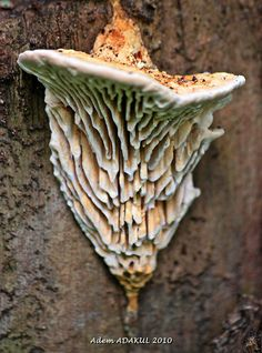 """Daedalea quercina (oak mazegill fungus)"" - these have inspired cities grown on the sides of giant Hadar trees (extensive stories in my writer's notes) ~:^)>  (like in The Time Machine 2002 in this trailer at 42 seconds  http://www.youtube.com/watch?v=8PgykNKcI7A"