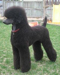 Uncut Standard Poodle - intelligent, loyal, playful etc. Great dog, didn't ask for frou frou haircuts.