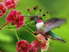 A beleza rara do beija flor.