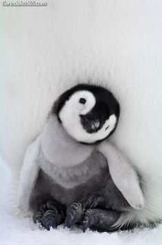 Penguins are incredibly cute creatures, but underneath all those warm fluffy feathers is an animal that has managed to thrive in hostile environments. In honor of Penguin Awareness Day, which happens . Baby Animals Pictures, Cute Animal Pictures, Animals And Pets, Nature Animals, Penguin Pictures, Images Of Animals, Animals In Snow, Cute Pics, Penguin Animals
