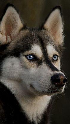 Beautiful Husky Dog - blue eyes