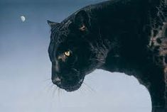 Pantera Foto Poster Art Lámina-Wild Jaguar permanente en las rocas
