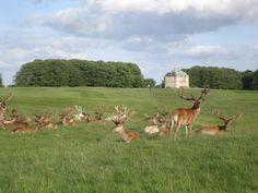 The Deer Park (Dyrehaven).  Klampenborg, north of Copenhagen.  Eremitage hunting lodge in the background.