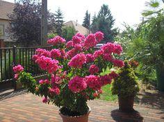 Bougainvillea, Garden Planning, Patio, Gardening, House Ideas, Vans, Garden, Container Gardening, Plant