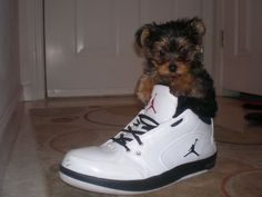 Teacup Yorkie in a high top