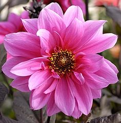 Dahlia Fascination -  The dahlias with the dark foliage are fantastic! Also, Rhaphiolepis 'Majestic Beauty' trained as a standard (tree) in small yards is evergreen with pink flowers clusters and takes full or part shade and is drought resistant.