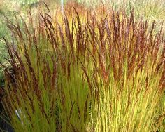 Deschampsia Tatra Gold 'Wavy Hair Grass'. A soft haze of reddish-bronze flowers, over a very neat tuft of evergreen, lime green leaves. Prefers acid humus rich soil but is generally easy in most situations. H20cm S20cm. Flowers to H50cm.