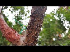 Yaprak mantarı, beyaz ağaç biti, kabuklu ağaç biti - koşnil ile mücadelede doğal ilaç yöntemi