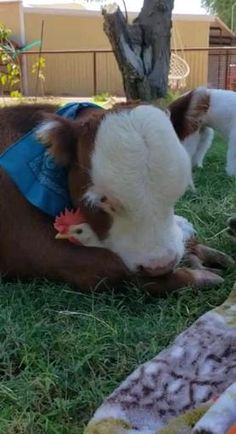 Cute Animal Videos, Funny Animal Pictures, Cute Little Animals, Cute Funny Animals, Cute Cows, Cute Creatures, Animal Memes, Animals Beautiful, Beautiful Babies