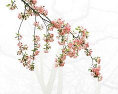Pink and Green Apple Blossoms   Fine Art Photo  by BrookeRyanPhoto, $15.00