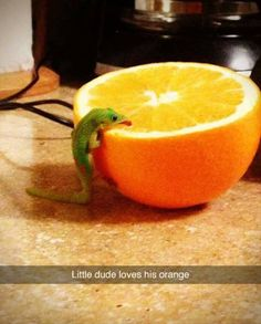 Lizard Licking An Orange