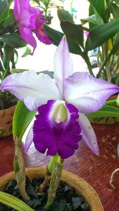 Blue Hawaii, Orchid