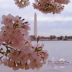 Cherry Blossom time in Washington, DC.