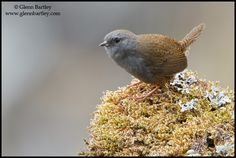 The puna tapaculo is a species of bird in the Rhinocryptidae family. It is found in Bolivia and Peru. Its natural habitats are subtropical or tropical moist montane forests and subtropical or tropical high-altitude shrubland.   Numerous species in the Rhinocryptidae (TAPACULO) family
