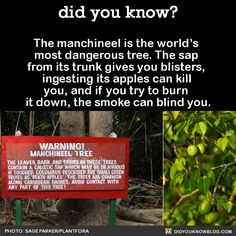 The manchineel is the world's most dangerous tree. The sap from its trunk gives you blisters, ingesting its apples can kill you, and if you try to burn it down, the smoke can blind you.   Source