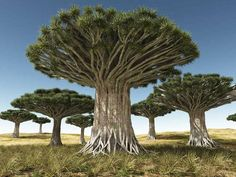 Dracaena draco tree | Canary Islands used for dragons blood. Protection, love…