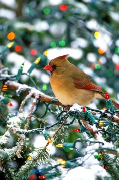 Cardinal, I used to search for them when I was younger! and I was so pissed to find out the pretty red ones were actually the boys! haha