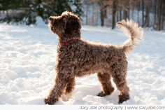 barbet   Our Barbet   American Barbet - Information on Barbet, French Water ...