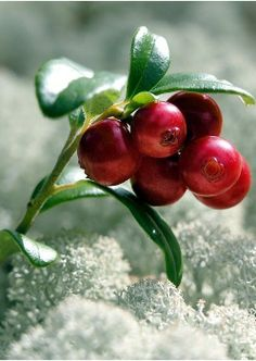 (Lingonberry-1) Cowberries (or lingonberry ) in Karelia, Russia; 越橘