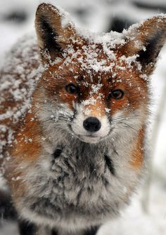 PETS A CUTE FOX IN THE SNOW !   BY #ARSENICLOVER <3