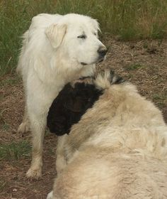 Great Pyrenees Information and Pictures, Flock Guardian