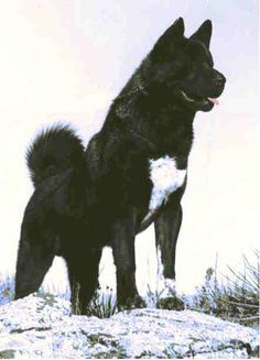 Spotlight: The Akita Akita Puppies, Akita Dog, Dogs And Puppies, Beautiful Dogs, Animals Beautiful, Cute Animals, Big Dogs, I Love Dogs, Cocker Spaniel