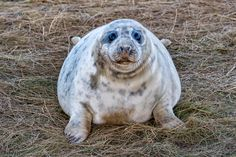Donna Nook baby Seal - grey seal puppy while looking at you at Donna Nook Lincolnshire beach