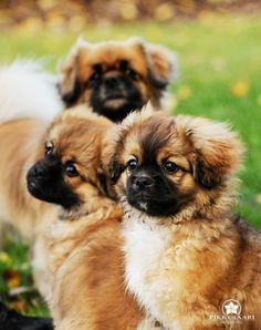 These Tibetan Spaniel puppies are waiting for their ride in the POW Pet carrier! Does your dog waits for that moment too? Small Dog Breeds, Cat Breeds, Small Dogs, Cute Puppies, Cute Dogs, Dogs And Puppies, Doggies, Spaniel Puppies, Animaux