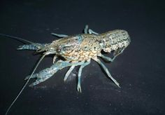 Blue Crayfish 'Procambarus Marmorkrebs' Environmentally Enduced Blue. Photographed by Dale Westaby USA