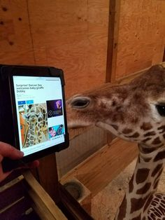 "April The Giraffe (@AprilTheGiraffe) | Twitter  from Mar 2/17  April The Giraffe‏ @AprilTheGiraffe  Mar 2  More   Dr Tim stopped by with ""words of encouragement"".  No pressure....."