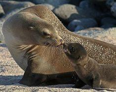 sea lion pup and mother - Szukaj w Google