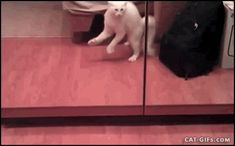 KITTEN+GIF+%E2%80%A2+Catattack+Crazy+white+Kitty+attacks+himself+in+the+mirror+haha.gif (425×264)