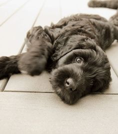portuguese water dog- loyal, protective, nonshedding, hypoallergenic, ALSO my perfect pet