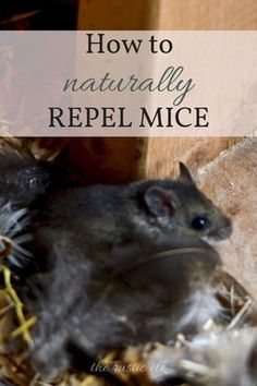 How to Naturally Repel Mice - While most of us do not want mice inside our houses, they a necessary evil when it comes to country living a lot of times. Here is how you can naturally repel mice from your homestead.