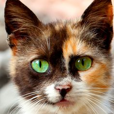 Gorgeous Calico! - Cat Smirk