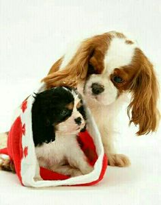 Merry Christmas to all Cavaliers and their furless parents! King Charles Puppy, Cavalier King Charles Dog, King Charles Spaniel, I Love Dogs, Puppy Love, Cute Puppies, Cute Dogs, Baby Animals, Cute Animals