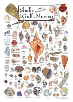sea shell I.D. cards - Google Search