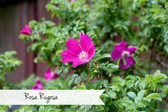 Rosa Rugosa  #gardening #flowers #plants